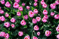 Belles tulipes, vue supérieure (amour, mariage - concept) Photo libre de droits