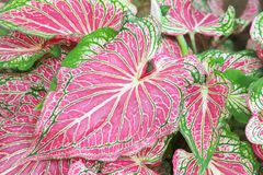 Belles usines bicolores Leaved de fantaisie de Caladium image stock