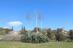 Belles usines d'agave Photos libres de droits
