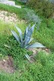 Belles usines d'agave Image libre de droits