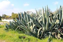 Belles usines d'agave Photo libre de droits