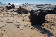 Belles vaches sur la plage de Vagator Photographie stock libre de droits
