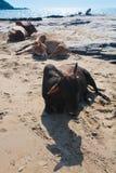 Belles vaches sur la plage de Vagator Photo stock