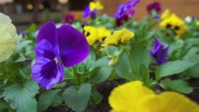 Belles violettes dans le plan rapproché de parc banque de vidéos