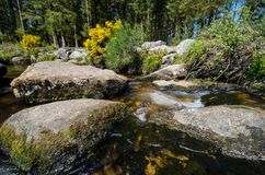 Bellever Forest And Dart River on Dartmoor National Park in Devo. Bellever Forest And Dart River on Dartmoor National Park In Spring Season, Devon, England royalty free stock image