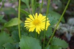 Belleza amarilla Imagenes de archivo