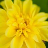 Belleza amarilla Imagen de archivo libre de regalías