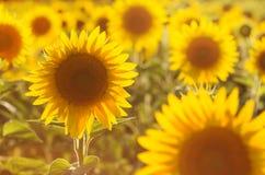 Belleza asombrosa de la luz del sol de oro en los pétalos del girasol Hermosa vista en el campo de girasoles en la puesta del sol Imagen de archivo libre de regalías