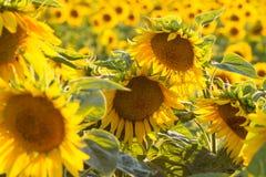 Belleza asombrosa de la luz del sol de oro en los pétalos del girasol Hermosa vista en el campo de girasoles en la puesta del sol Imágenes de archivo libres de regalías