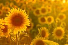Belleza asombrosa de la luz del sol de oro en los pétalos del girasol Hermosa vista en el campo de girasoles en la puesta del sol Fotos de archivo libres de regalías