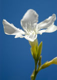 Belleza blanca II Fotos de archivo libres de regalías