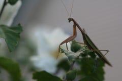 Belleza cautelosa de la mantis religiosa fotografía de archivo libre de regalías