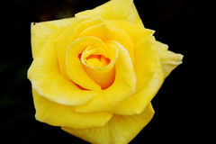 Belleza color de rosa del amarillo Imagenes de archivo