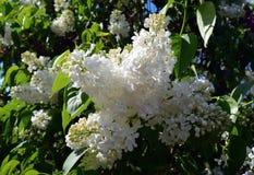 Belleza de Bush de la flor del jardín de la lila de la primavera Foto de archivo
