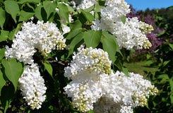 Belleza de Bush de la flor del jardín de la lila de la primavera Imágenes de archivo libres de regalías