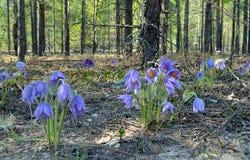 Belleza de Bush de la flor del jardín del snowdrop de la primavera Foto de archivo libre de regalías