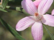 Belleza de Eriostemon imagen de archivo libre de regalías