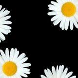 Belleza de la flor de la margarita fotografía de archivo