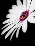 Belleza de la margarita Imagenes de archivo