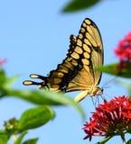 Belleza de la mariposa Fotografía de archivo libre de regalías