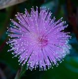 Belleza de la mimosa Piduca en mi jardín foto de archivo