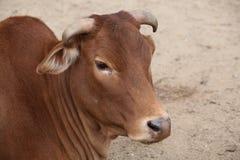 Belleza de la mirada del primer de la vaca del cebú fotos de archivo libres de regalías