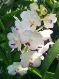 Belleza 8 de la orquídea Foto de archivo