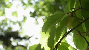 Belleza de la sol a través de las hojas verdes del árbol almacen de metraje de vídeo