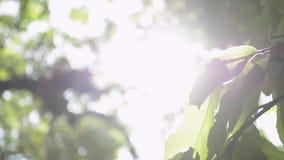 Belleza de la sol a través de las hojas verdes del árbol metrajes