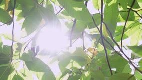 Belleza de la sol a través de las hojas verdes del árbol almacen de video