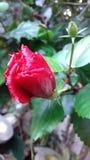 Belleza de las rosas de China Imagen de archivo libre de regalías