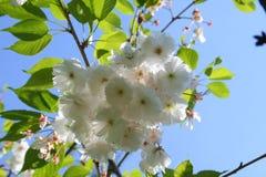 Belleza de sakura Foto de archivo libre de regalías