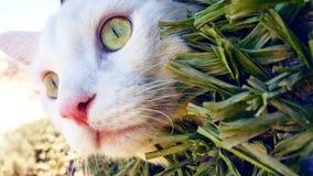 Belleza de un gato jordano Fotos de archivo libres de regalías