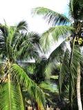 Belleza del árbol de coco fotos de archivo