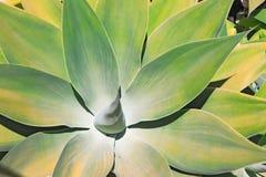 Belleza del agavo Fotografía de archivo