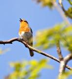Belleza del canto Foto de archivo libre de regalías