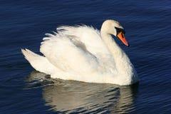 Belleza del cisne Fotografía de archivo libre de regalías