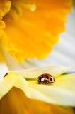 Belleza del ladybug de la naturaleza en flor Imagenes de archivo