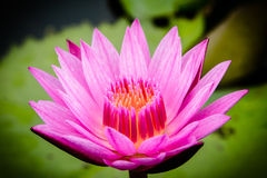 Belleza del loto Fotografía de archivo libre de regalías