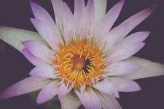 Belleza del loto Fotos de archivo libres de regalías