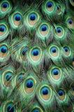 Belleza del pavo real Fotos de archivo libres de regalías