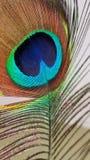 Belleza del pavo real foto de archivo libre de regalías