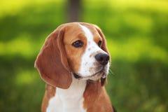 Belleza del perro del beagle Fotografía de archivo