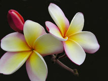 Belleza del Plumeria Foto de archivo libre de regalías