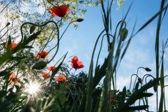 Belleza del prado con las amapolas rojas salvajes y cielo azul, cuchillas de la hierba, rayos de sol y luz contra, bajo visión, c imagenes de archivo