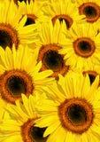 Belleza del verano del girasol fotos de archivo libres de regalías