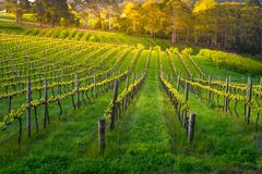 Belleza del viñedo Imagen de archivo