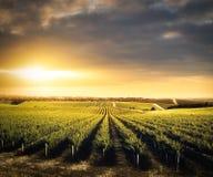 Belleza del viñedo Foto de archivo