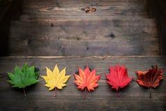 Belleza en naturaleza o concepto de envejecimiento Color de la variedad de hojas de arce foto de archivo