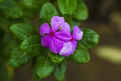 Belleza gemela rosada del ` s de la flor imagen de archivo